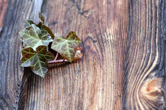 An ivy plant Stock Image