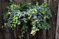 Ivy Plant. Hanging Ivy plant in a basket with a textured wood background Royalty Free Stock Image