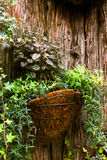 Ivy Plant. Hanging ivy plants in a basket with a textured wood background Stock Photos
