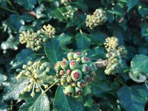 Ivy plant in autumn Stock Images