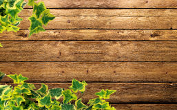 Ivy plant. On the background Royalty Free Stock Images
