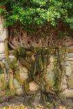 Ivy plant. Stock Photo