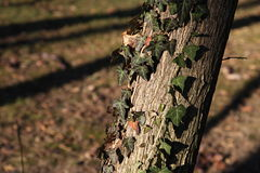 Ivy plant. Climbing on a tree in a park in late autumn. Location is Park Bazilescu in Bucharest royalty free stock image