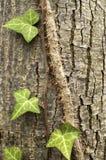 Ivy plant closeup Stock Photography