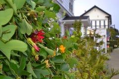 Ivy Plant com as flores em Mendocino, Califórnia Fotografia de Stock
