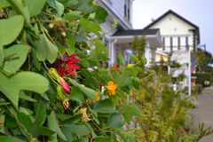 Ivy Plant con i fiori in Mendocino, California Fotografia Stock