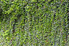 Ivy wall background. Ivy plant covering a wall with luscious green leaves texture background Stock Photo