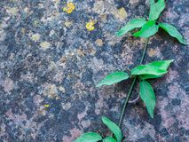 Ivy Plant de escalada no fundo velho da parede foto de stock