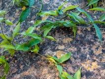 Ivy Plant de escalada no fundo velho da parede imagem de stock royalty free