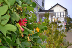 Ivy Plant with Flowers in Mendocino, California Royalty Free Stock Photos