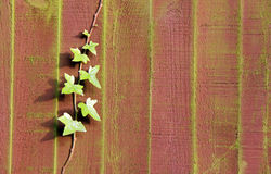Ivy plant on a garden fence Stock Image