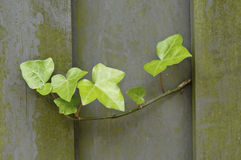 Ivy plant growing out of a fence Royalty Free Stock Photography