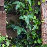 Ivy plant (Hedera helix) making spaces in fencing. Stock Photo