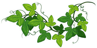 Ivy plant. Illustration of a close up ivy Royalty Free Stock Images