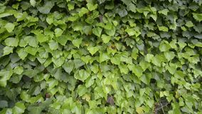 Ivy. An ivy plant moved by the wind stock footage