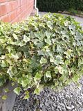 Ivy plant Royalty Free Stock Photo