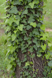 Ivy plant on tree trunk Royalty Free Stock Images