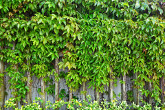 Ivy plant on wall Stock Photography