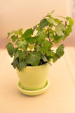 Ivy plant in yellow flowerpot Royalty Free Stock Photos