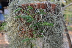 Ivy plants Royalty Free Stock Photography