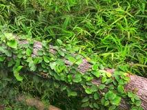 Ivy Plants rampicante verde sul ceppo di legno fotografia stock