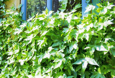 Ivy plants. On a wooden garden house Stock Image