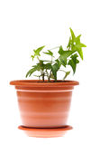 Ivy in pot. Isolated on white background Stock Images