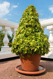 The ivy in a pot Royalty Free Stock Photography