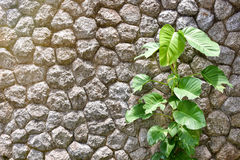 Ivy of a Pothos on the rock wall. Ivy of a Golden Pothos on the rock wall background Royalty Free Stock Photos
