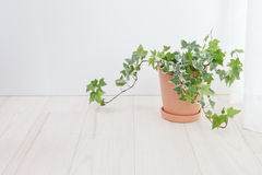 Ivy potted Royalty Free Stock Photos