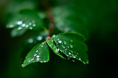 Ivy with rain drops close up Royalty Free Stock Photography
