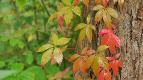 Ivy In The Rain. Ivy leaves are red and green on the tree under the rain drops stock footage