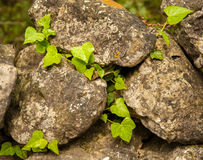 Ivy ranking on a stone wall. In Cres Croatia stock photography