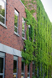 Ivy on a Red brick building Stock Images