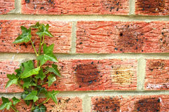 Ivy on Red Brick Stock Image