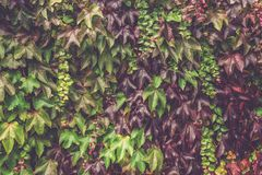 Ivy with Red and Green Leaves on the Red Brick Wall during Fall Royalty Free Stock Photography