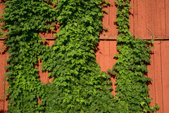 Ivy on a red wooden wall Stock Photography