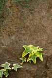 Ivy on a rock Royalty Free Stock Images