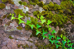 Bright Grren Ivy on Mossy Rock Royalty Free Stock Photography