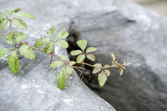 Ivy on the  rock background. Giant rocks with   ivy  plant Royalty Free Stock Photos