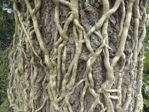 Ivy roots Royalty Free Stock Photography
