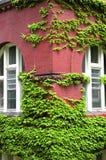 ivy, rosnące ściany fotografia stock
