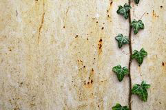 Ivy on Rusty Background. Ivy leaves and stem trailing down the right hand side of a orange rusty grungy sheet of metal with space for text Royalty Free Stock Photography