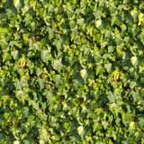 Ivy. Seamless Texture. Royalty Free Stock Images