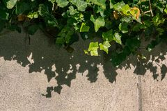 Ivy shadows on the wall. Sunlight casting a hard shadow of ivy onto a concrete wall Stock Images