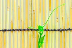 Ivy shoots on  Japanese bamboo blind Stock Images