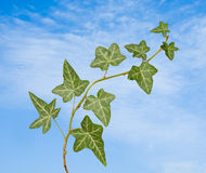 Ivy on sky background Royalty Free Stock Photography