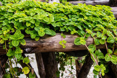 Ivy on small timber Stock Photo