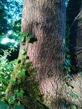 Ivy Snakes op de boomstam royalty-vrije stock fotografie