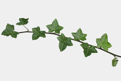 Ivy sprig Stock Photography